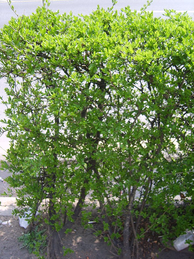 Privet  By Dalgial - Own work, CC BY-SA 3.0