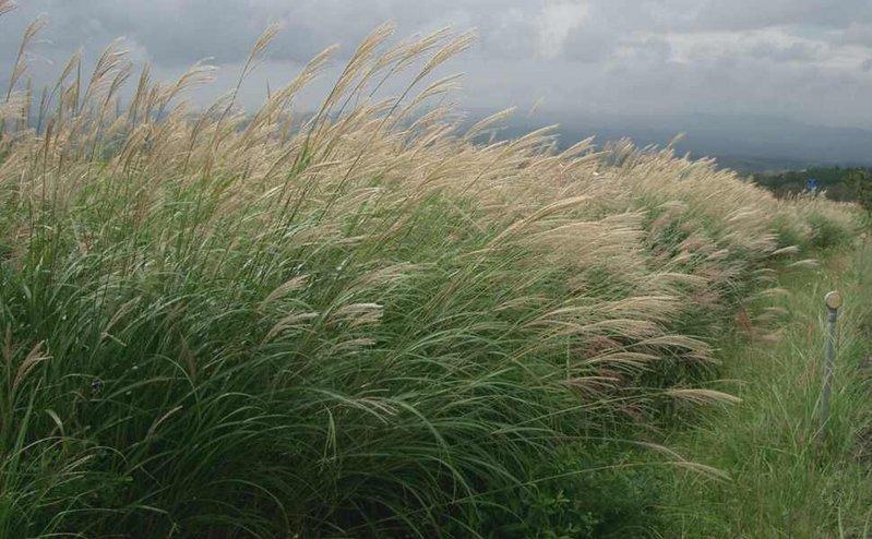 Maiden Grass  By Miya.m - Miya.m's photo taken in 熊本県産山村, Japan., CC BY-SA 3.0