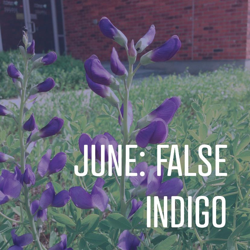06-13-16 june false indigo.jpg