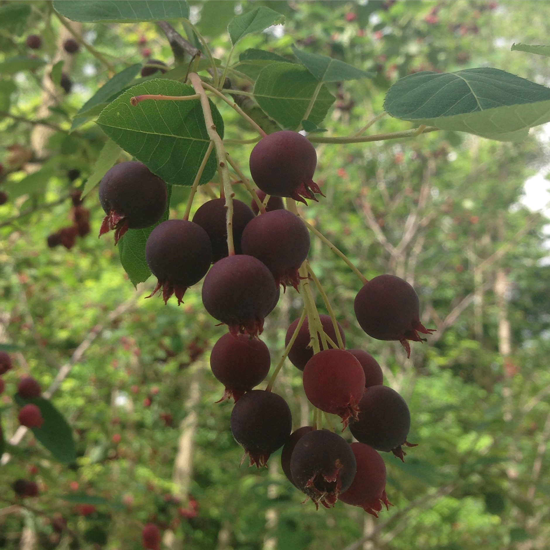 Serviceberry fruit are delicious. Photo by Maria Gulley