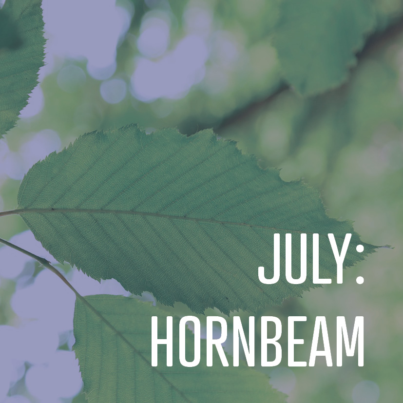 07-01-16 july- hornbeam.jpg