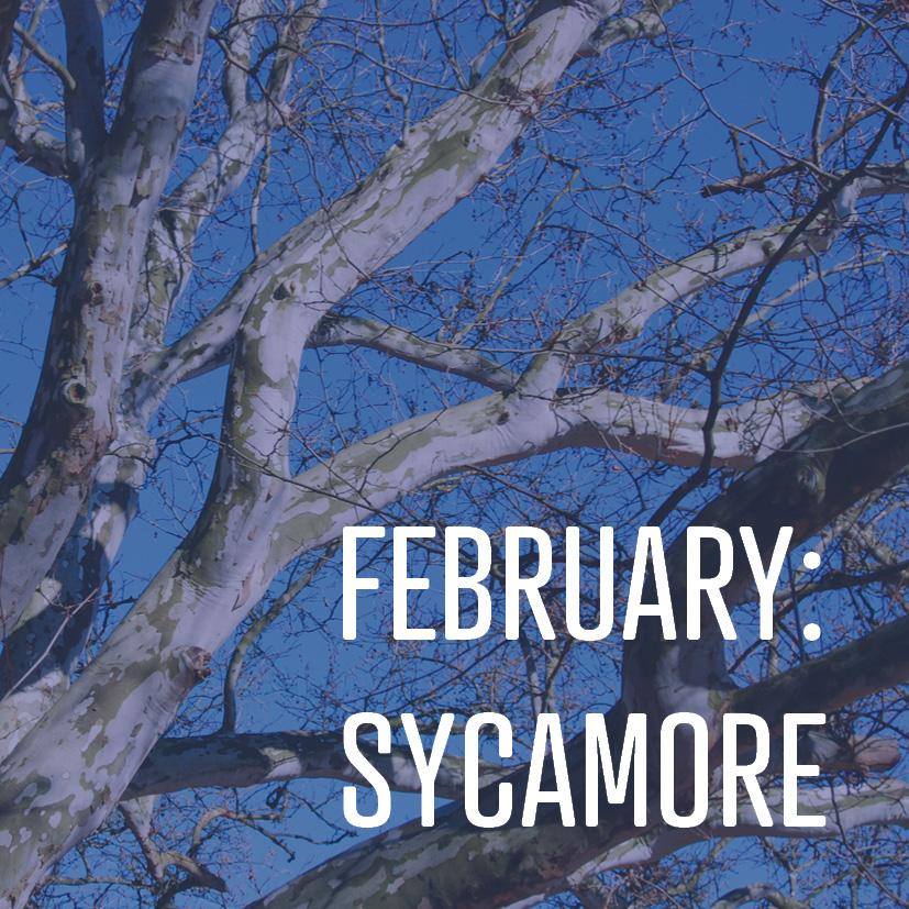 02-05-19 FEBRUARY SYCAMORE.jpg