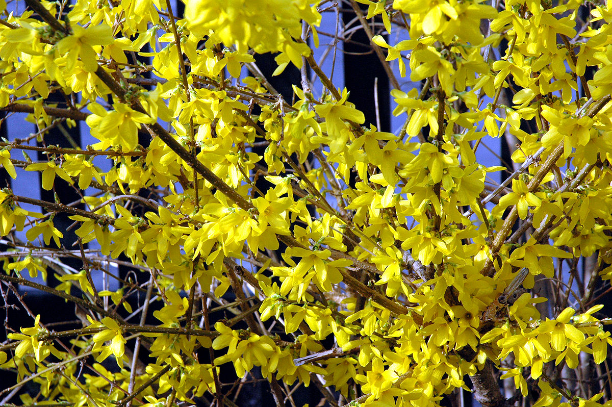 Forsythia especially dislikes shearing.  By Rdsmith4 - Own work, CC BY-SA 2.5