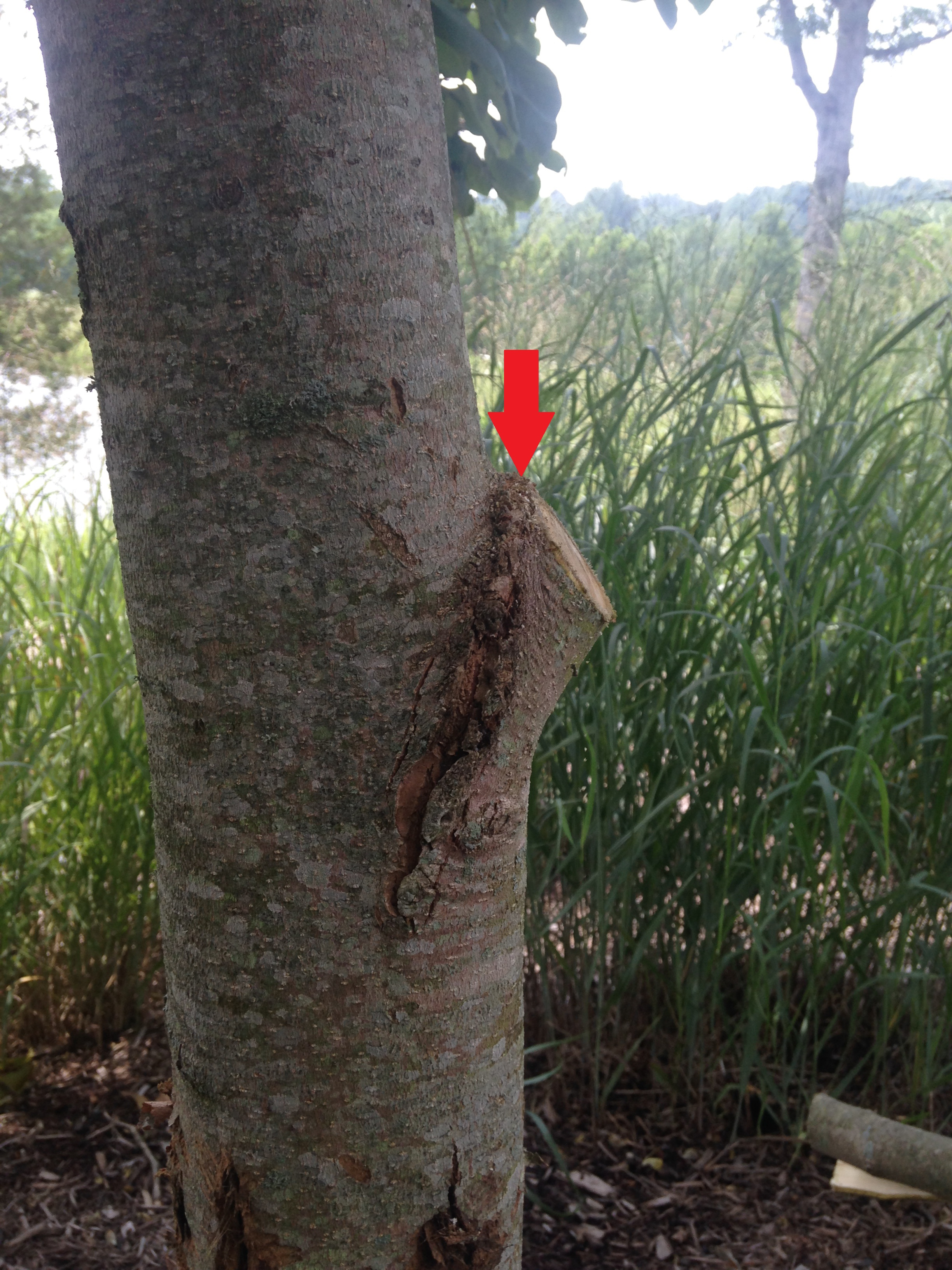 Step 3: make your final cut just outside the bark ridge (red arrow) at an angle away from the tree