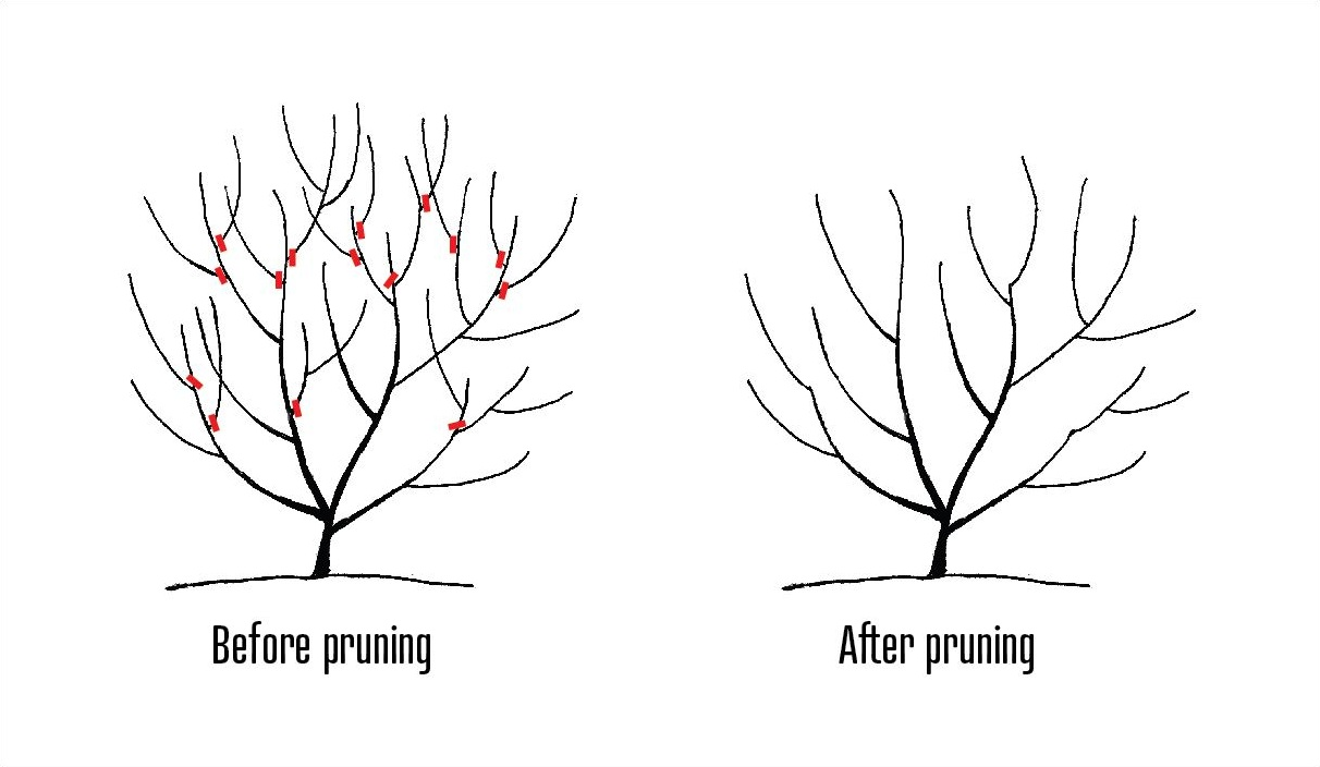 Diagram of proper shrub pruning to reduce overall size. Click to view larger.