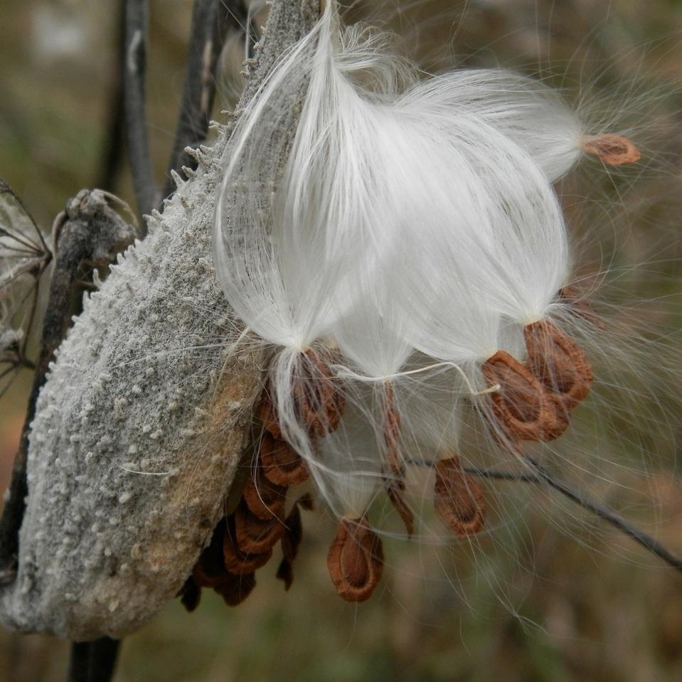 milkweed-112338_1280.jpg