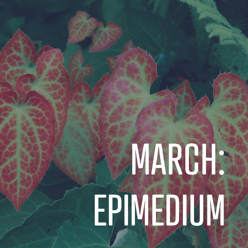 03-06-18 march epimedium.jpg