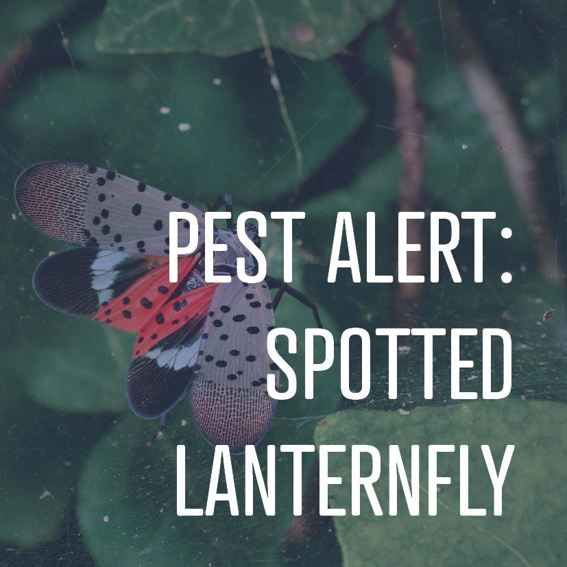 04-30-19 pest alert spotted lanternfly.jpg