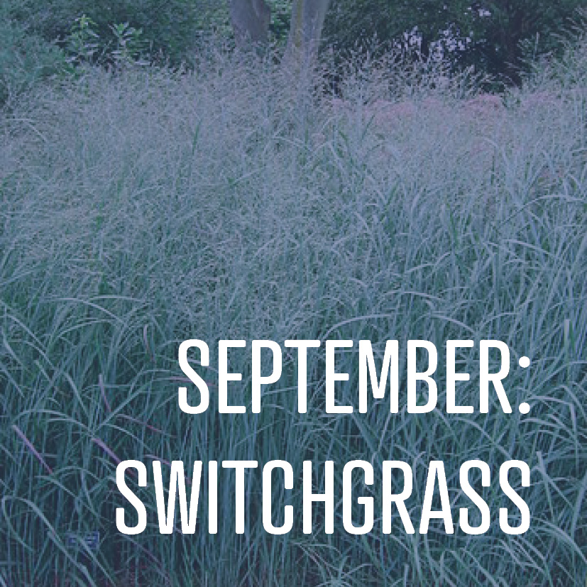 09-01-17 september switchgrass.jpg