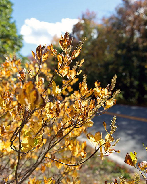 Summersweet fall color  Photo by Flikr user Plant Image Library, CC BY-SA 2.0