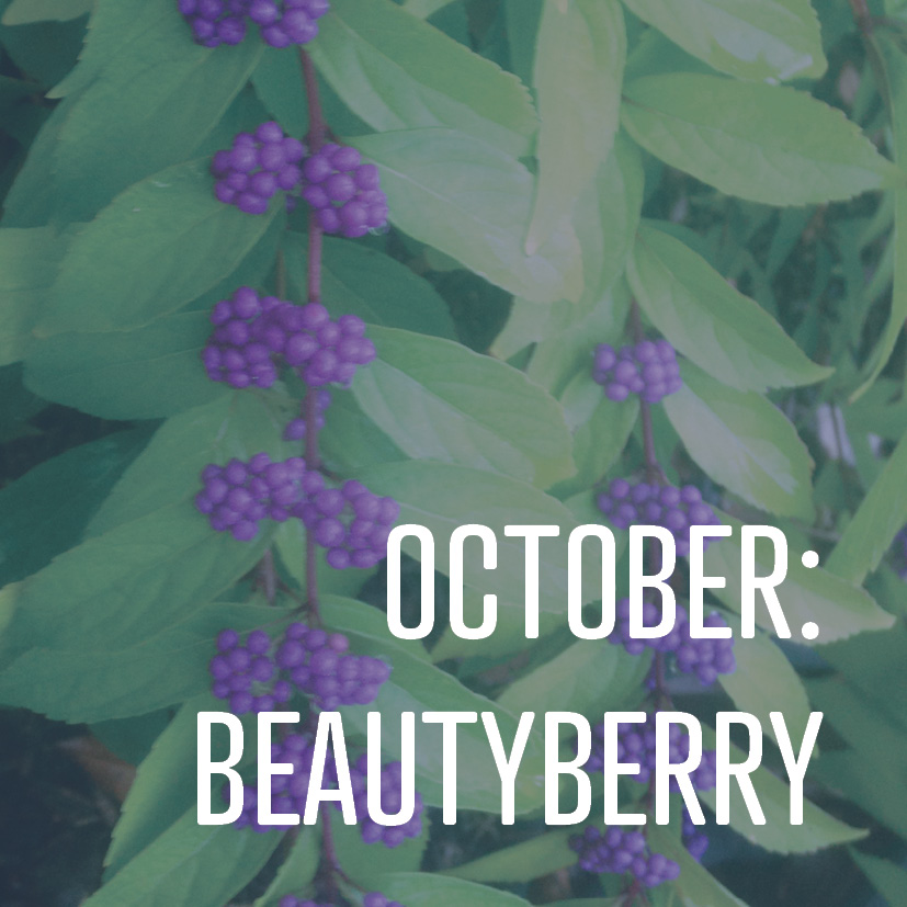 10-06-17 october- beautyberry.jpg