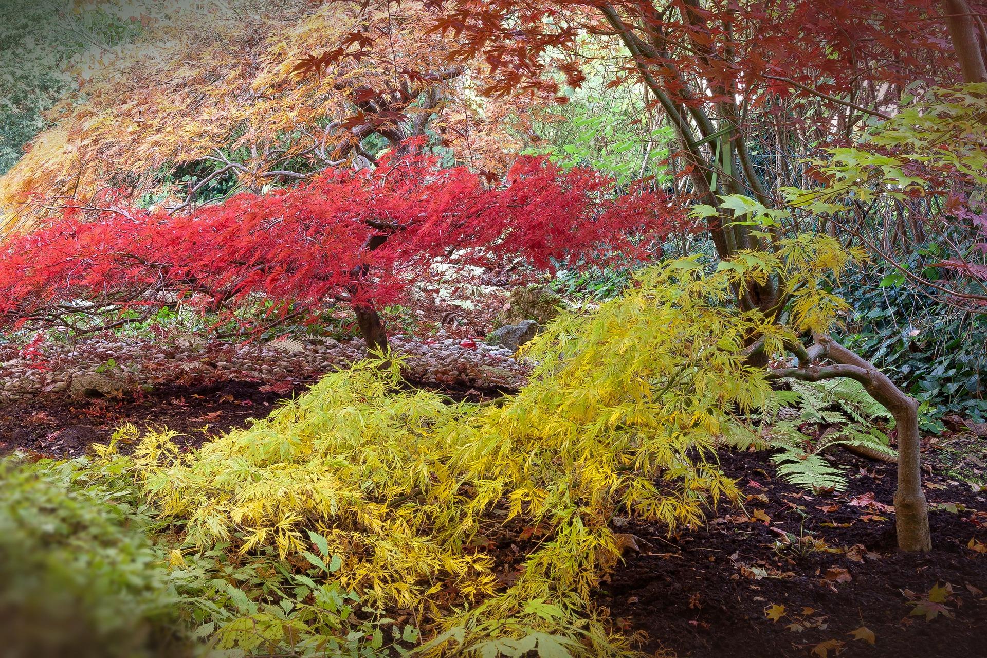 Four different varieties of low-growing Japanese maples can be seen in this image.