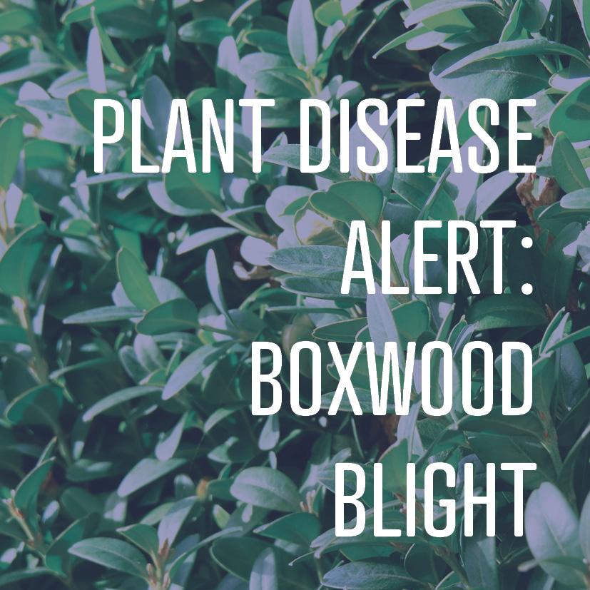 12-13-17 boxwood blight.jpg