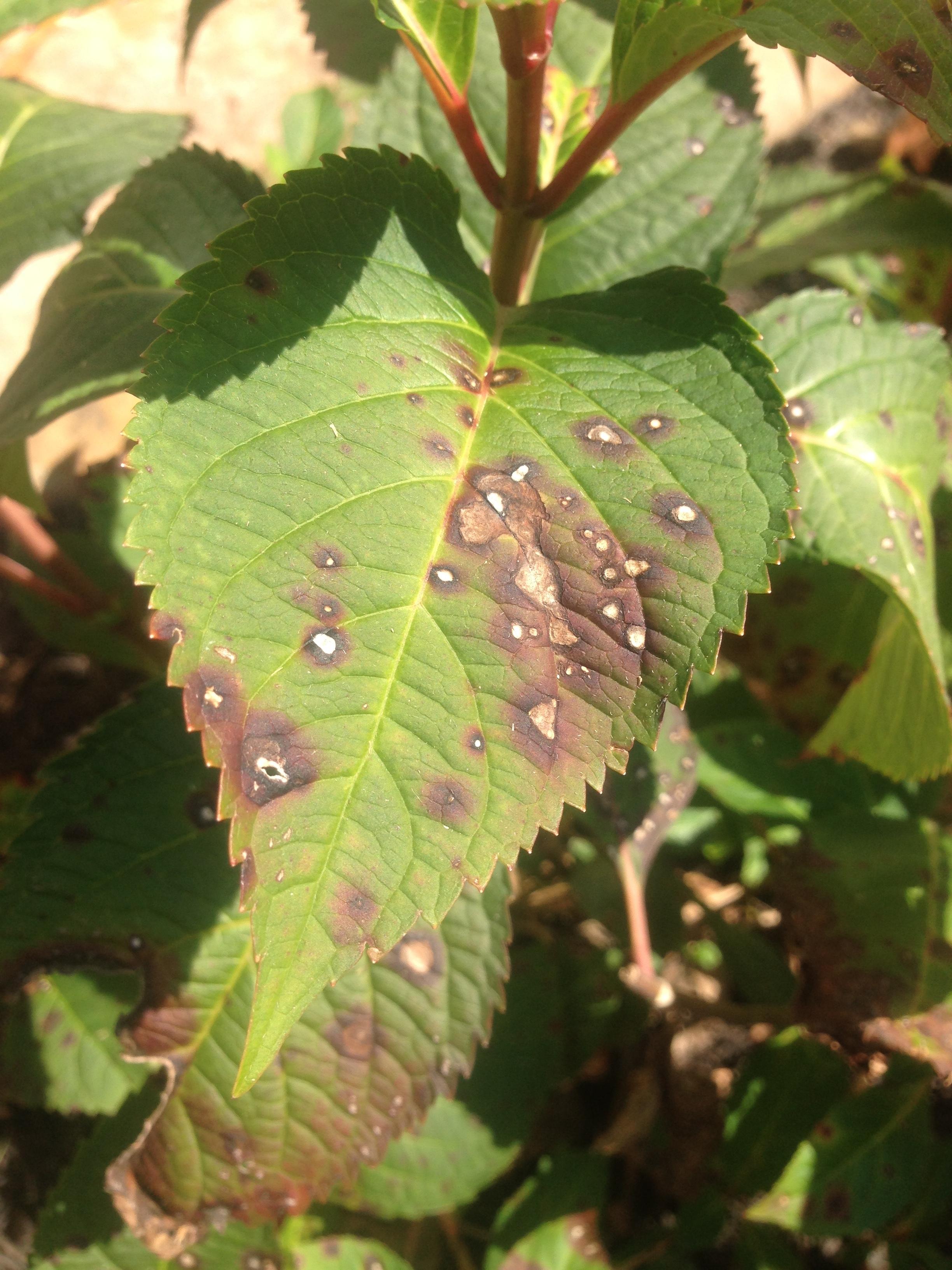 Hydrangea leaf spot on a mophead hydrangea