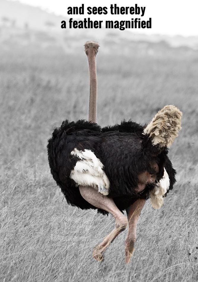 D_ostrich2_beston.jpg