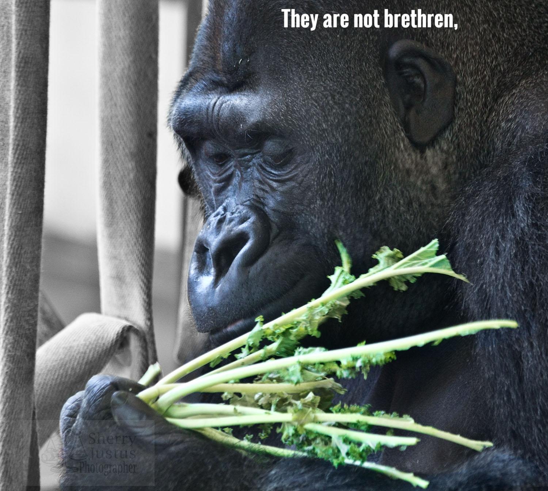 LL_gorilla2_beston.jpg