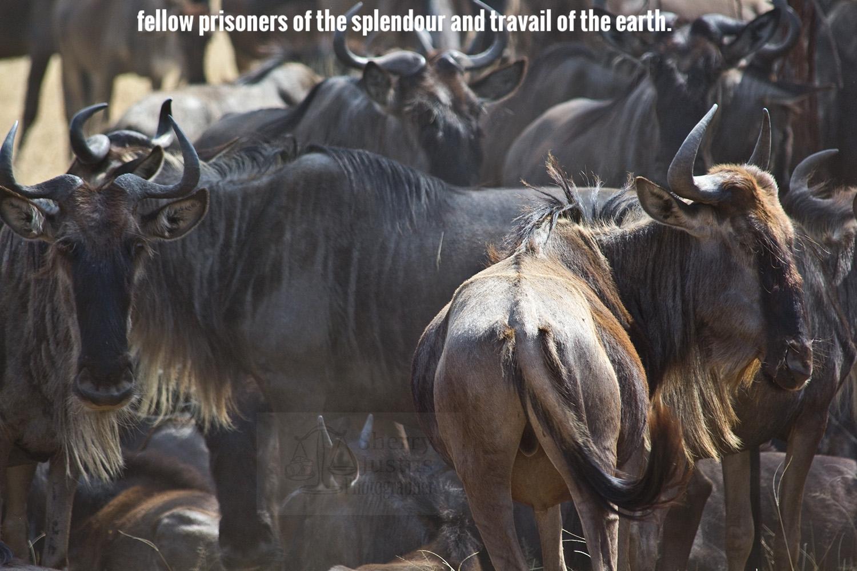 N_wildebeest herd2_beston.jpg