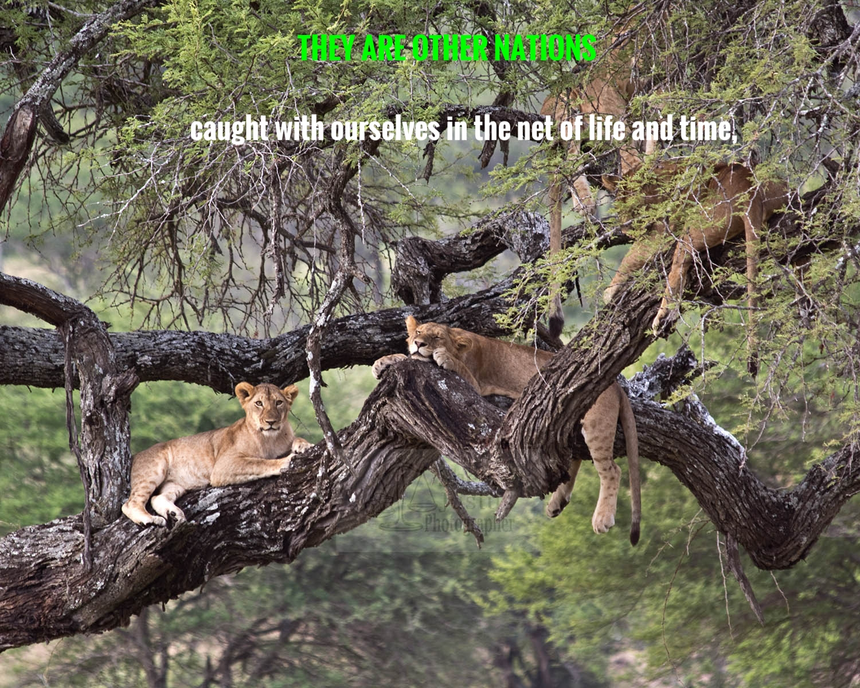 M_lions in tree2_beston.jpg