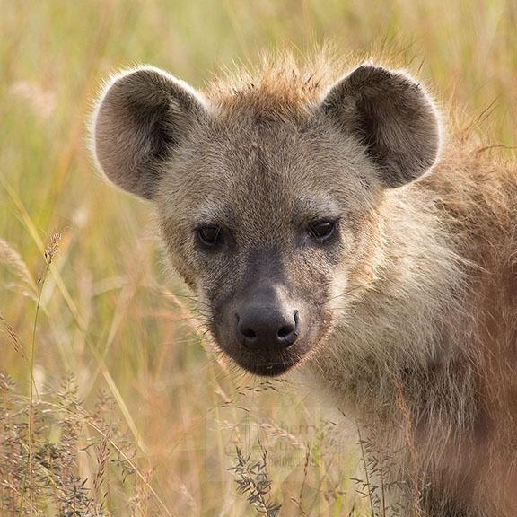 hyena2.jpg