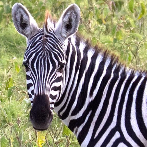 zebra2.jpg
