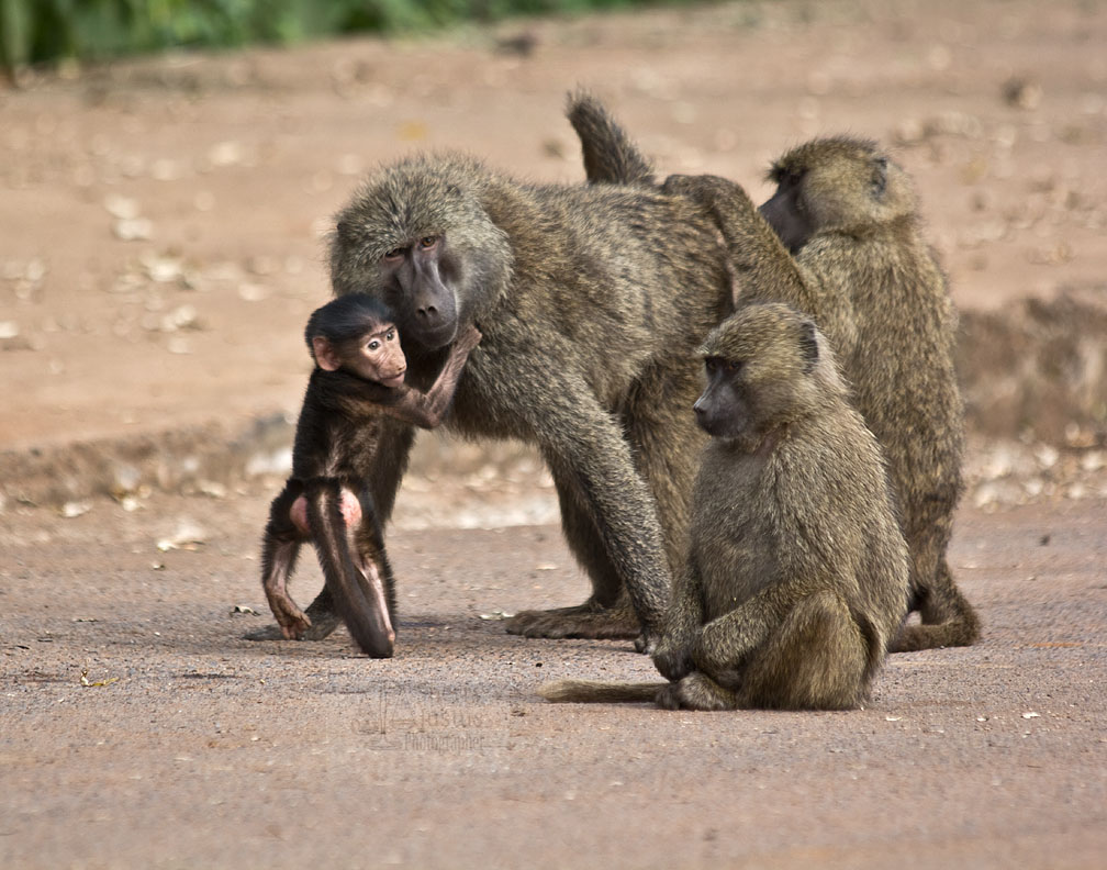 Baboon mothers and infants are in almost constant contact for the first few months.