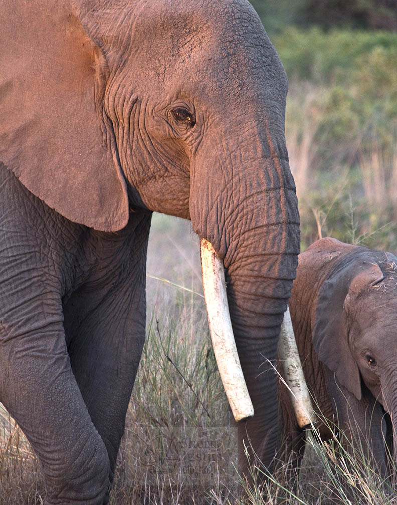 Elephant mother-daughter bonds can last 50 years.