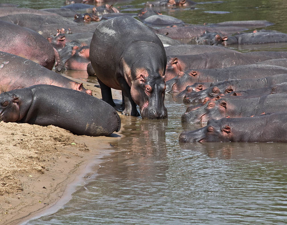 A dominant male hippo will defend his place to the death.