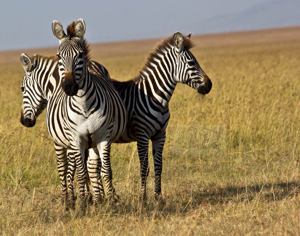 Zebras search for one who is lost...individuals matter.