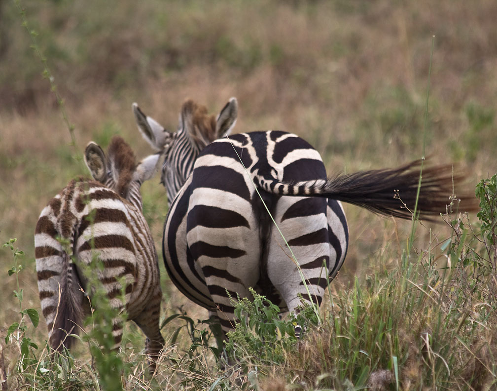 Zebras are born all black or all white and then, as they get older, develop the white or the black stripes they are meant to have.
