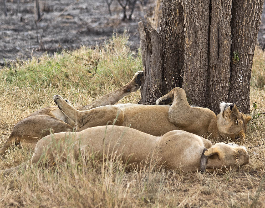 Lions establish close family groups and can spend 2/3rds of the day sleeping.