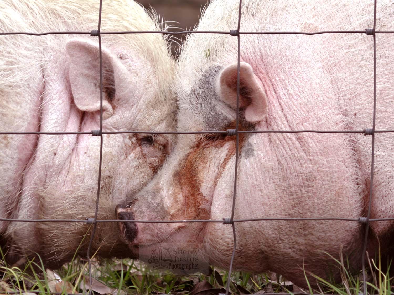 Pig passion