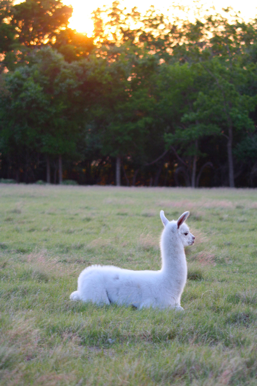 Twight llama