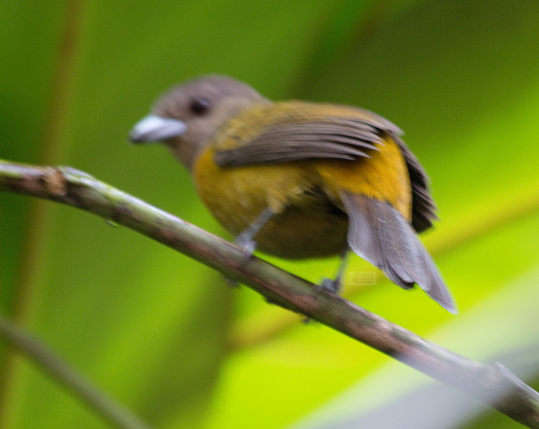 gray and yellow bird.jpg