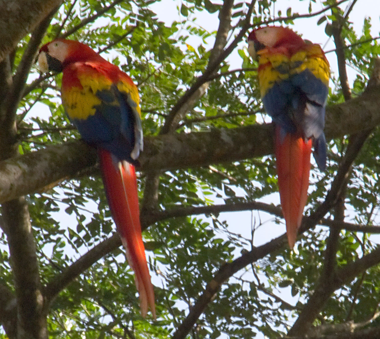 Macaw pair