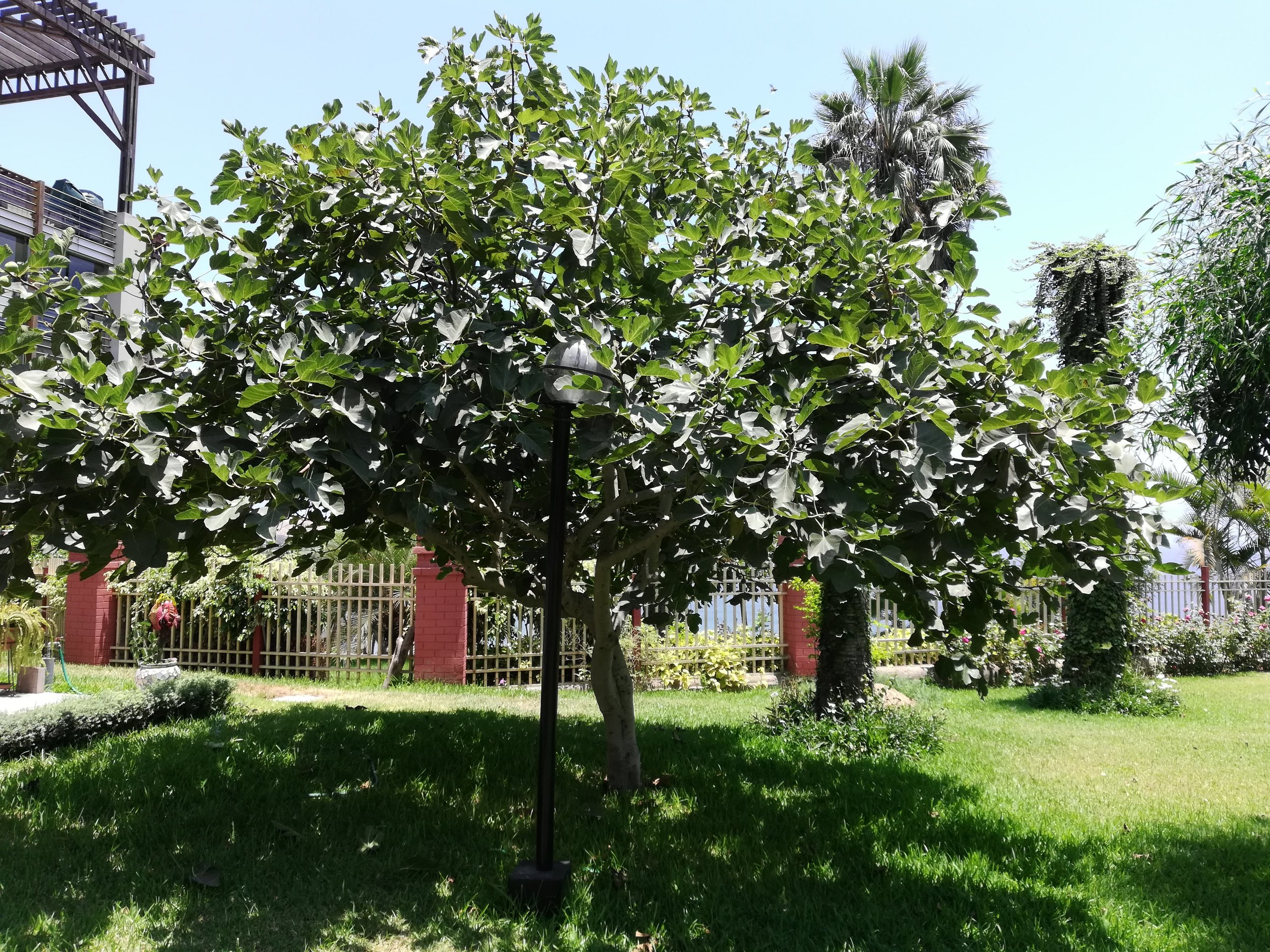 One of the fig trees