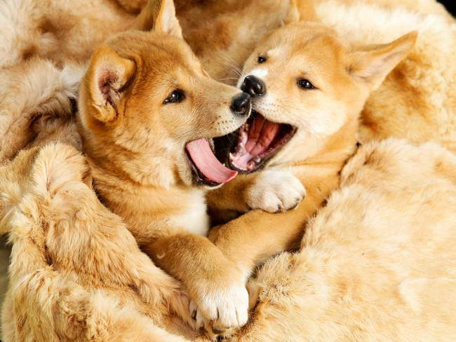 Dingoes Featherdale Wildlife Park Sydney .jpg