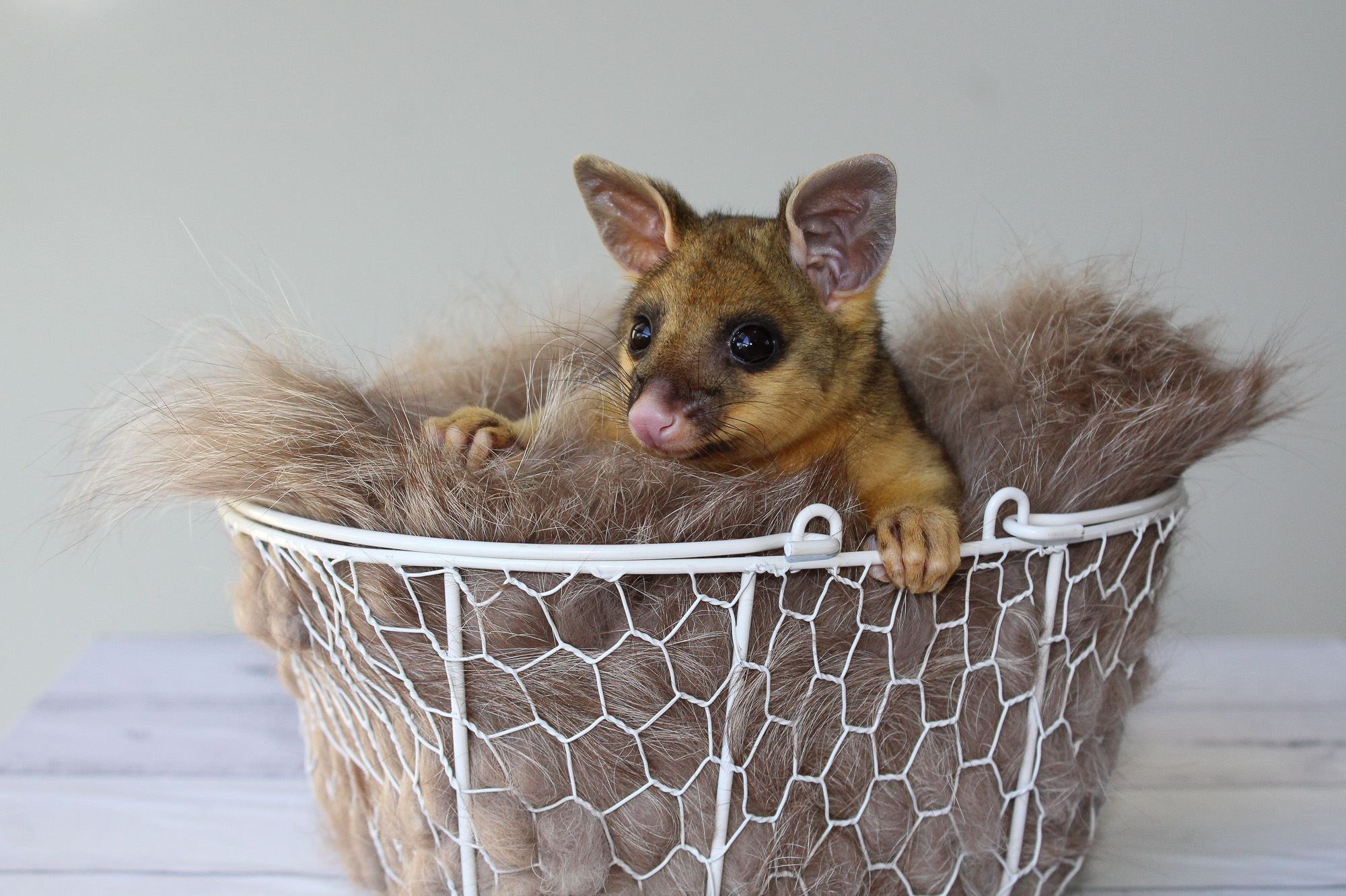 Ginger_brushtailpossum_Judi Gray Wildlife Qld Toowoomba.jpg