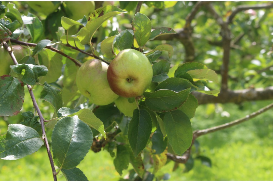 West Dean Gardens - Apple Affair