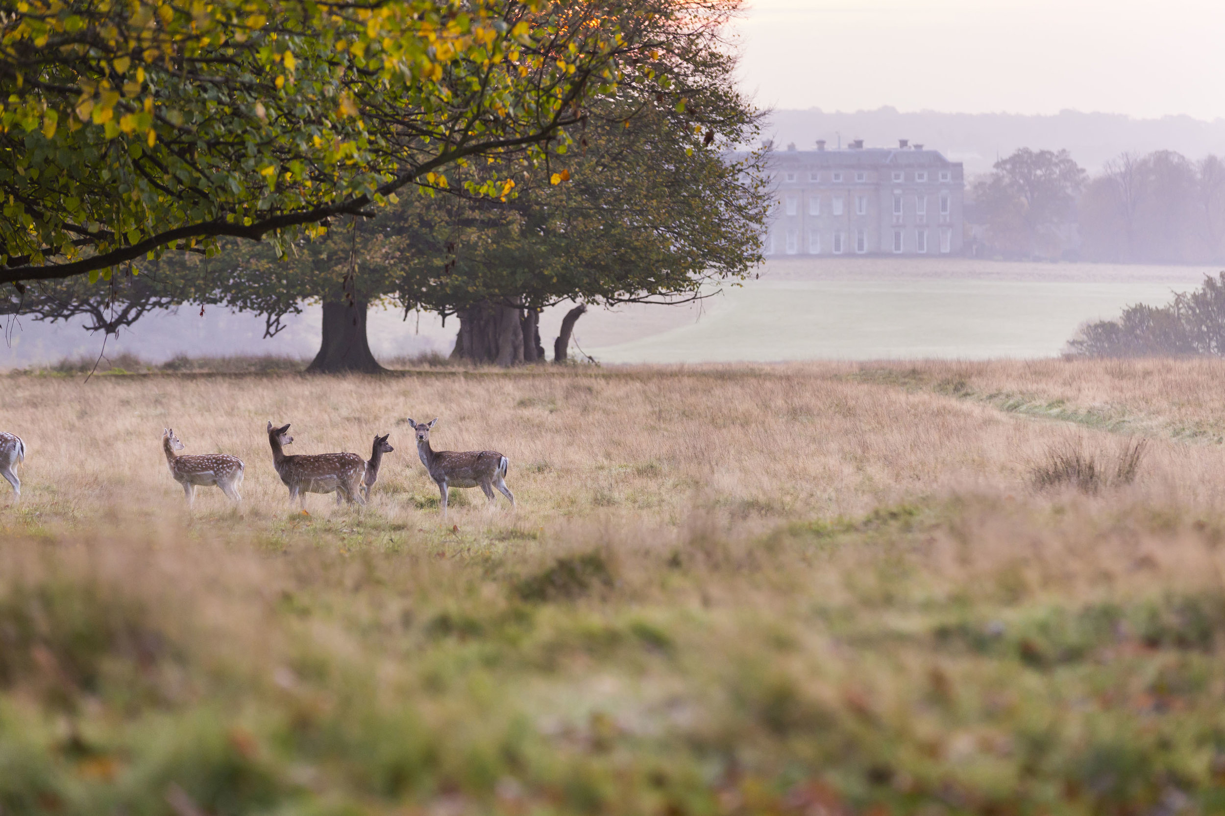Petworth House and Park - deer in autumn landscape ©National Trust Images Chris Lacey.jpg