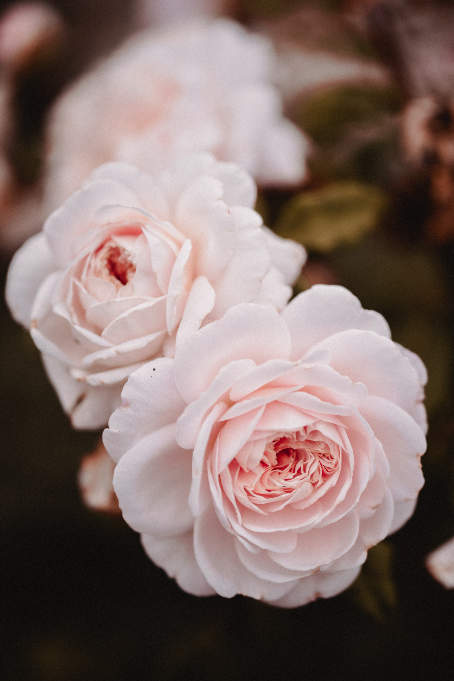 Claire-Minuit-Rose-Moody.jpg