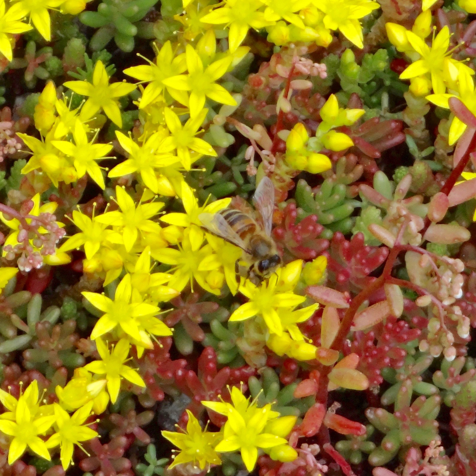 Bee on the sedum in St Katharine Docks.jpg