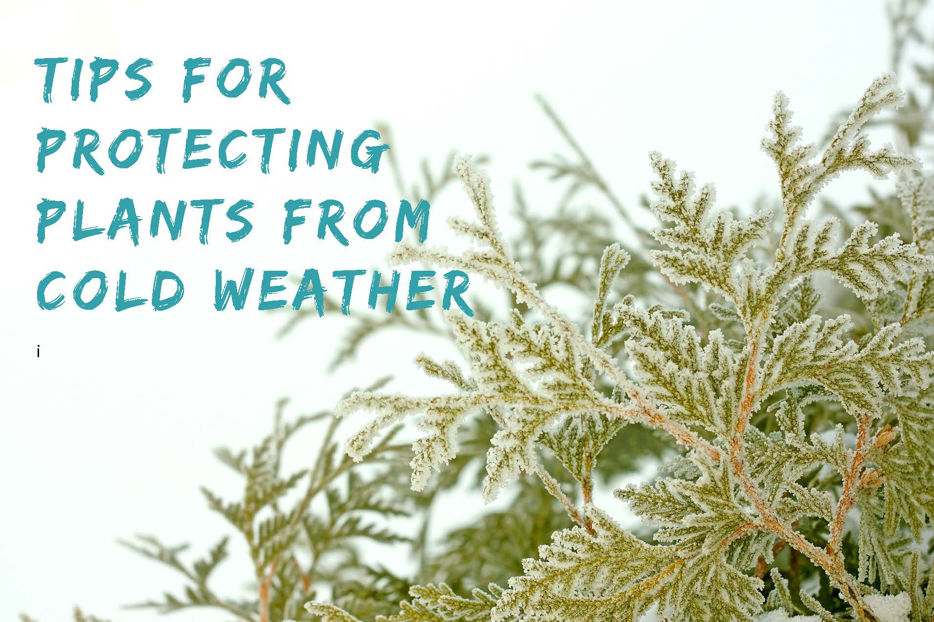 TIPS FOR PROTECTING PLANTS IN THE COLD WEATHER.jpg