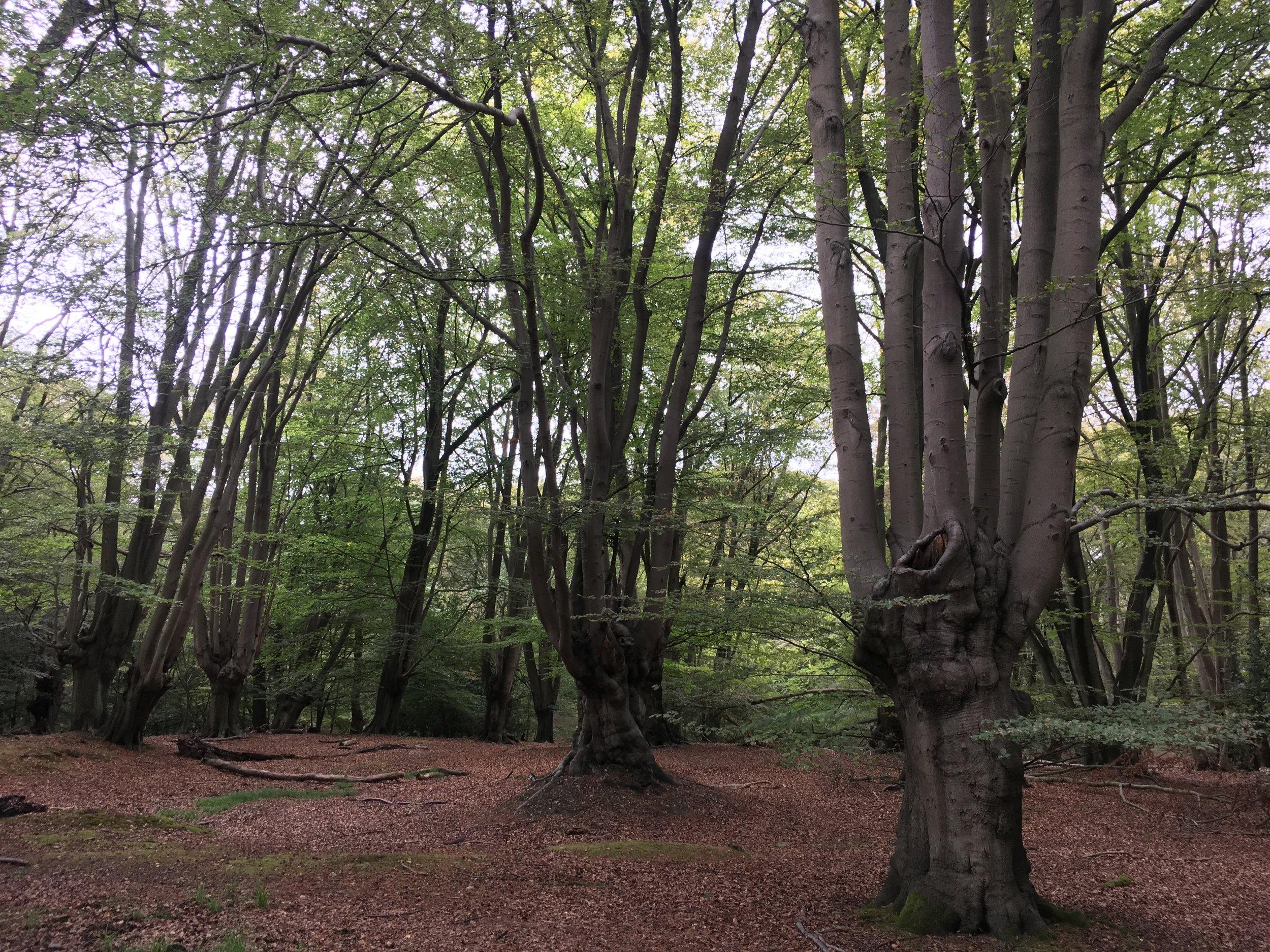 Pollarded trees, Staples Hill, Loughton 2019