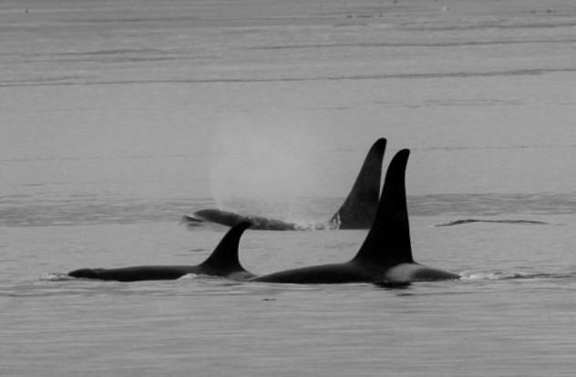Fri-Orcas.jpg
