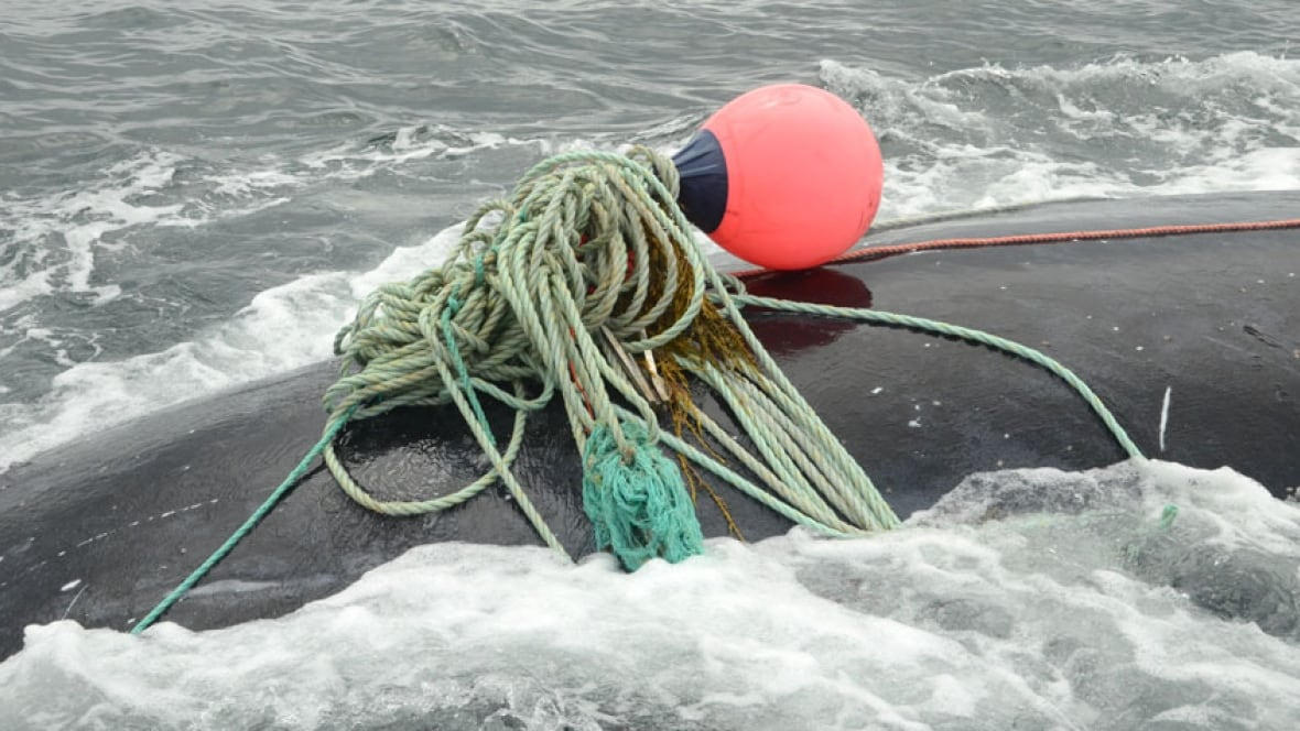 Right whale freed from fishing gear in Bay of Fundy  via CBC.ca