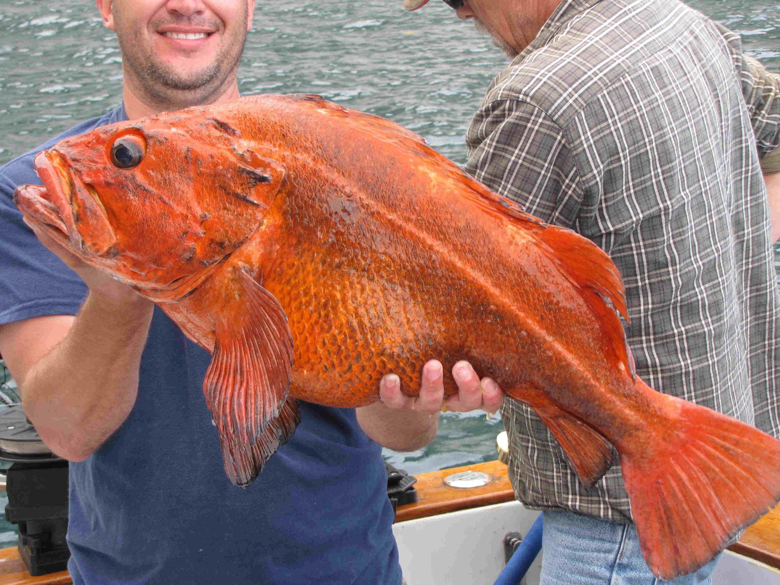 cardinal rock fish