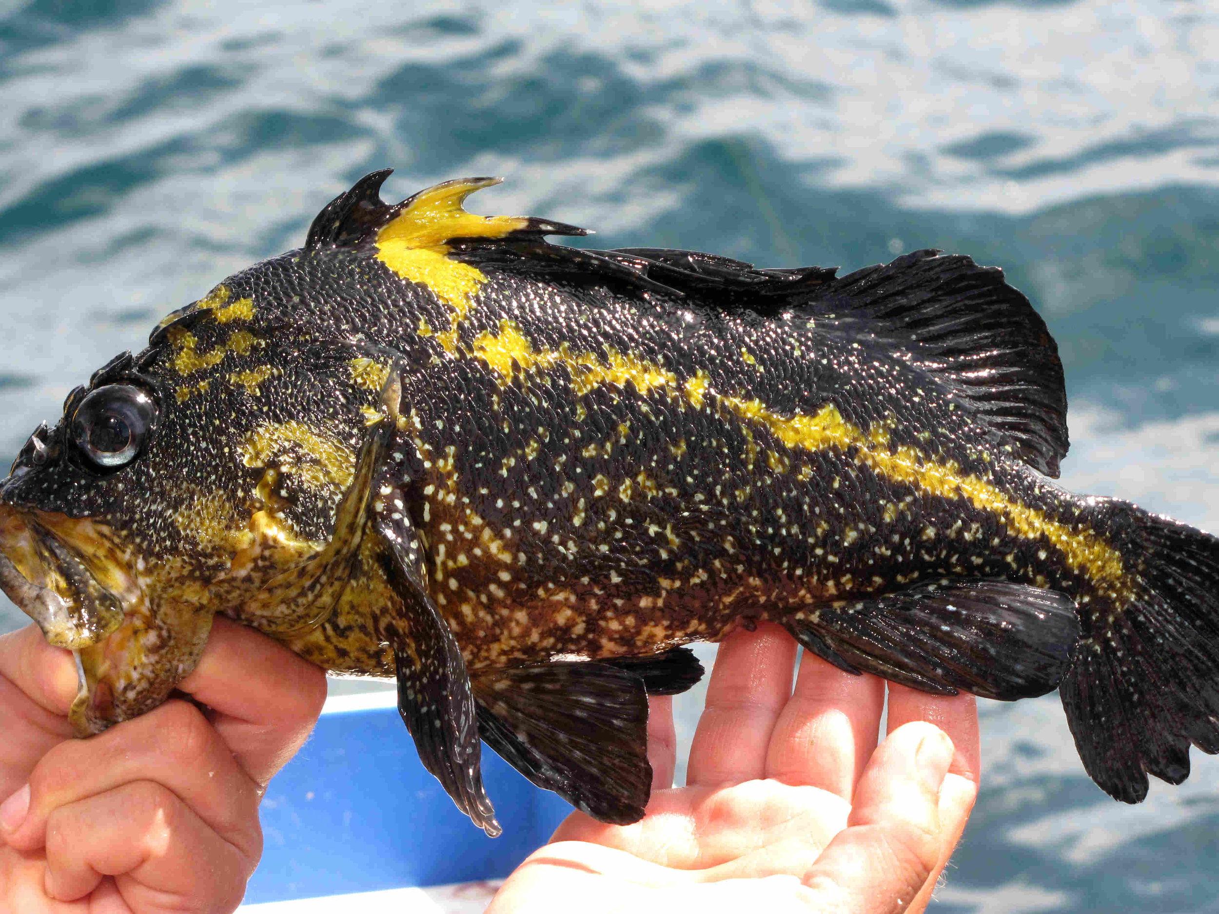 China rock fish