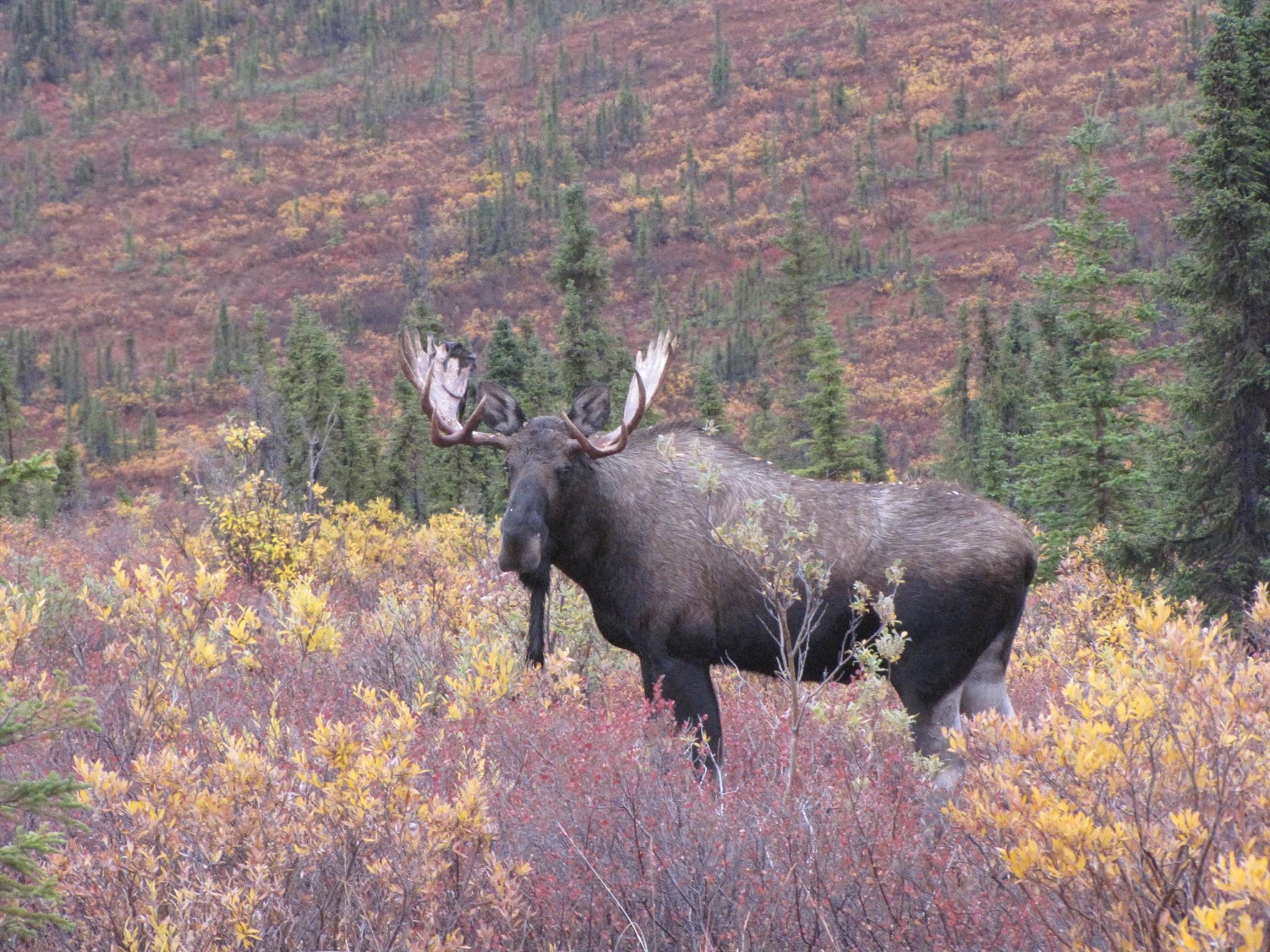 young Alaska bull moose