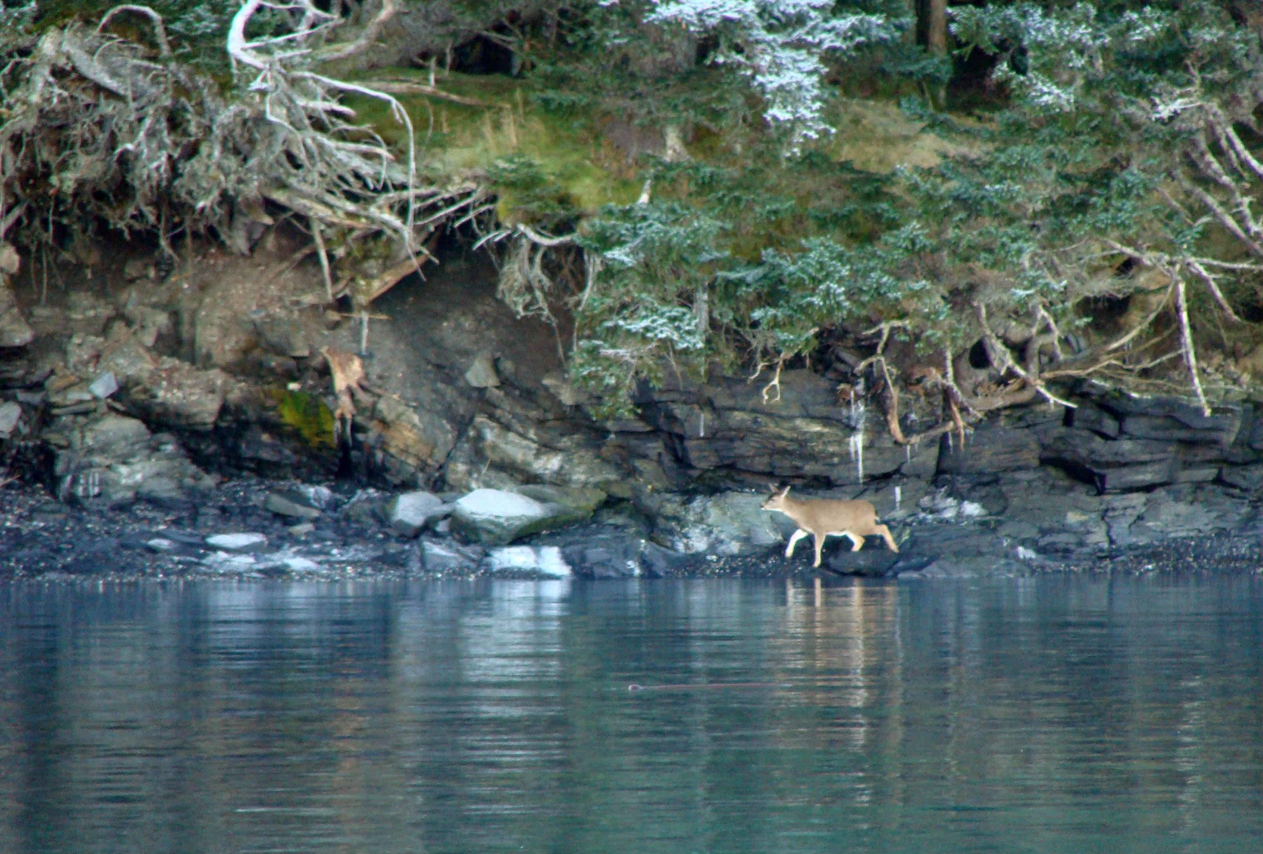 black tail deer on shore