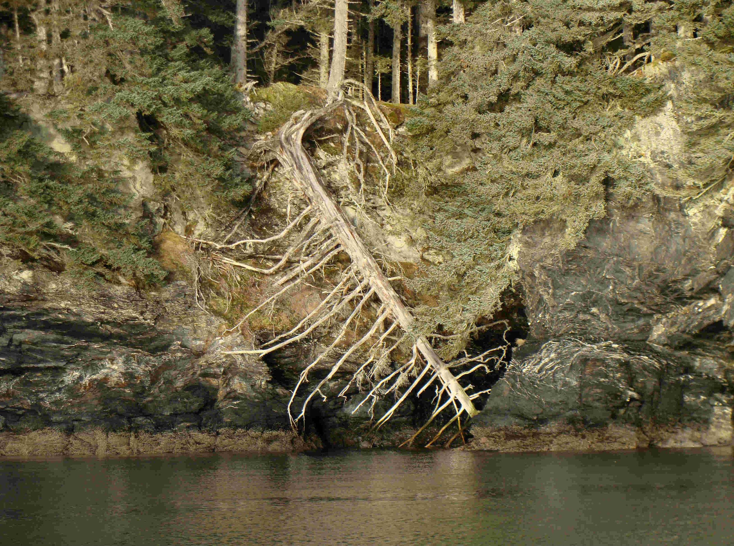 150-foot Sitka spruce